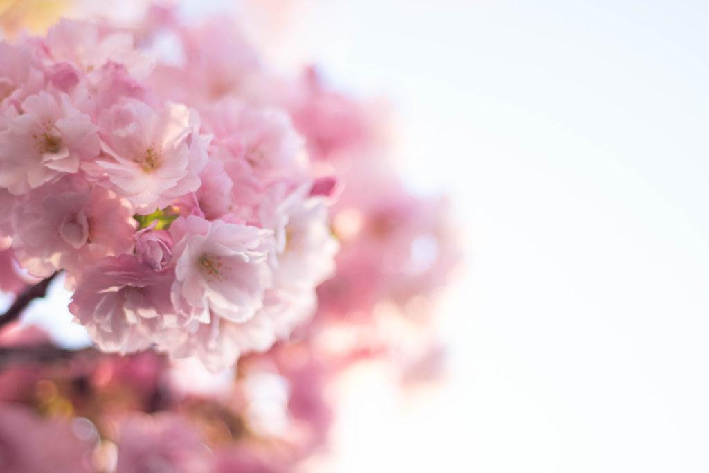 幻想的なピンク色の八重桜