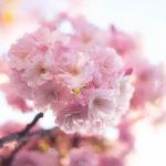 幻想的な八重桜の花と空