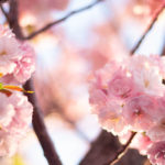 陽に当たる八重桜