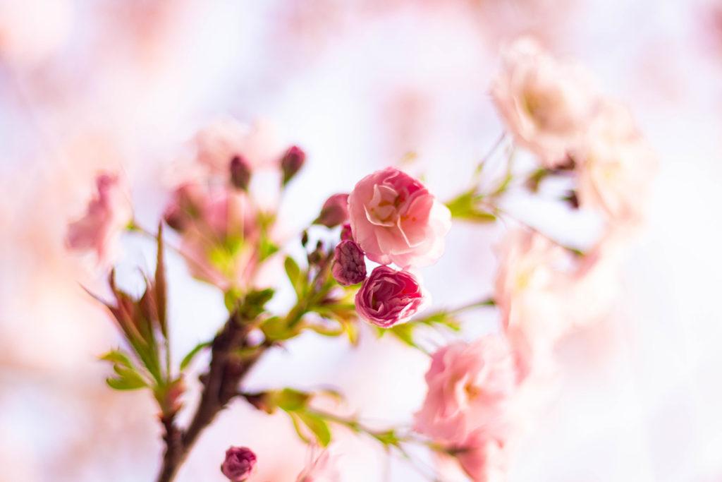 濃いピンクの八重桜