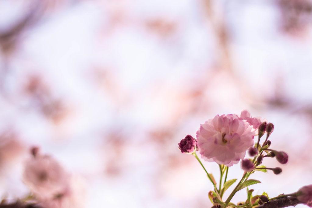 八重桜の花びらとつぼみ