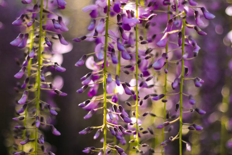 光の中で揺れる藤の花