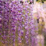 垂れ咲く百毫寺の藤の花