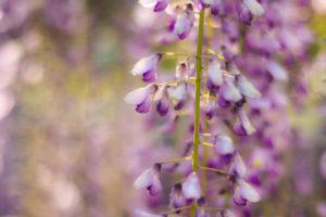 陽だまりの中の藤の花