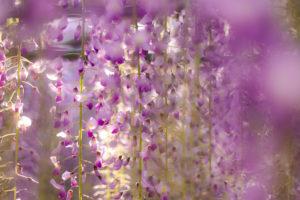 きれいな紫色の藤の花