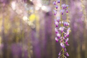 陽に照らされる藤の花