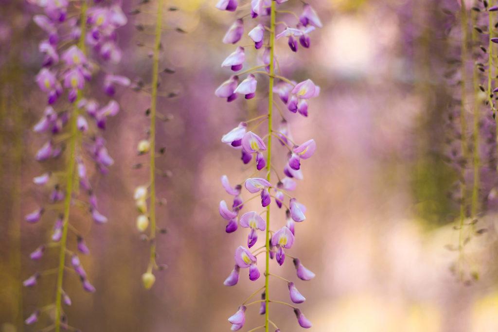 しだれ咲く藤の花