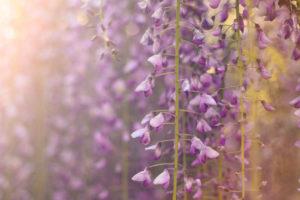 夕日に照らされる藤の花