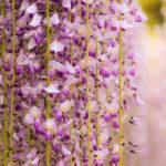 美しく咲き誇る百毫寺の九尺藤