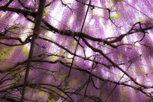 幻想的な百毫寺の九尺藤の藤棚