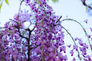青空の中で咲く藤の花