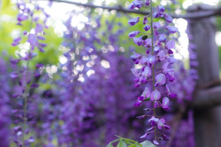 白毫寺 藤の花