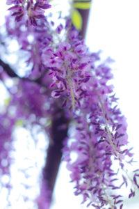 優雅に垂れ咲く藤の花