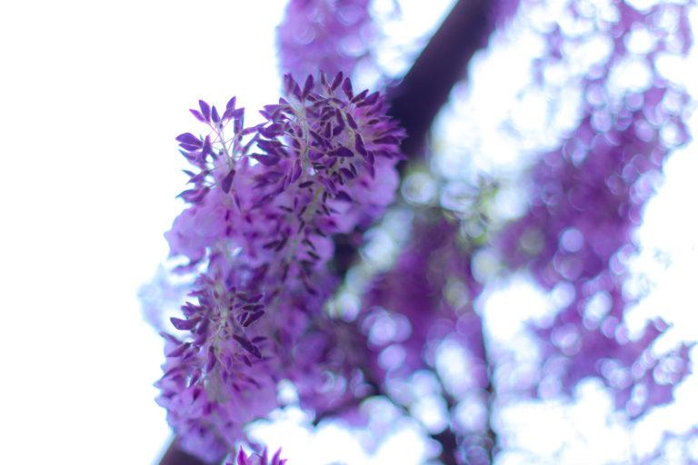 下から見上げた藤の花