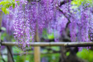 満開の藤の花
