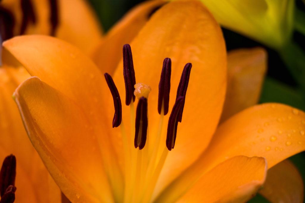 オレンジリリー