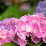 鮮やかなピンク色の紫陽花