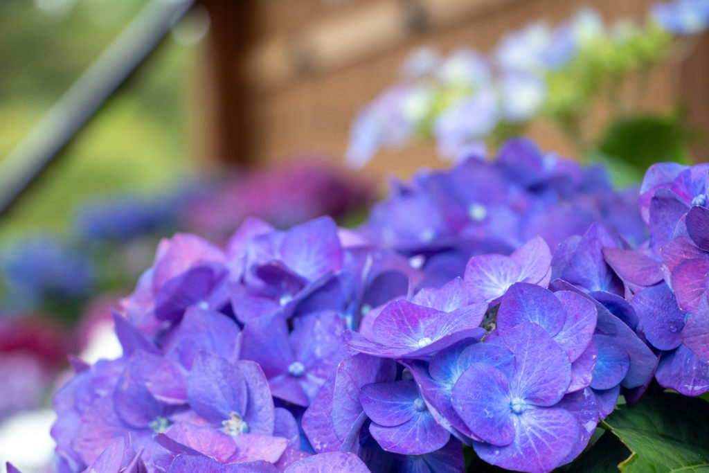 濃い紫色の紫陽花