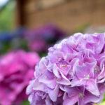 薄紫色の紫陽花(あじさい)