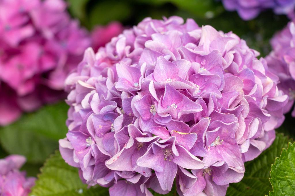丸く咲くピンク色の紫陽花