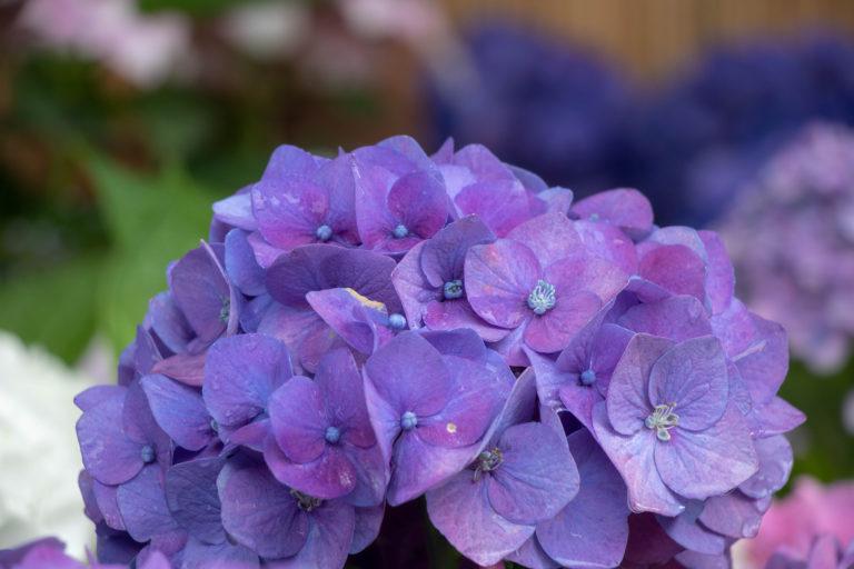 満開の濃い紫色のあじさい
