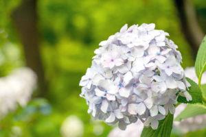 薄い紫色の紫陽花