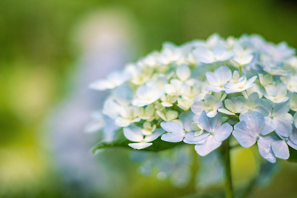 ふんわりと咲く薄いブルーのあじさい