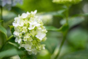咲き始めの小さな白いあじさい