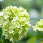 薄緑色のアジサイ