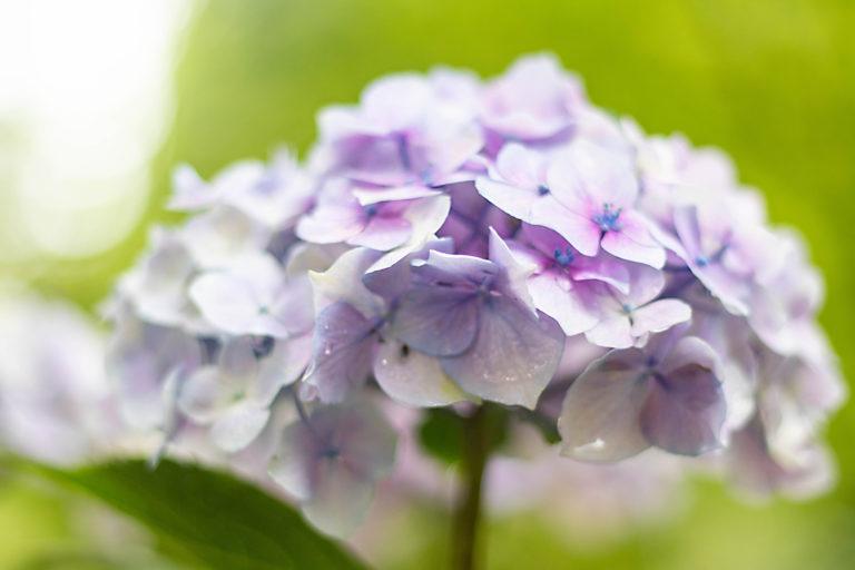 雨上がりの中の薄紫色のアジサイ