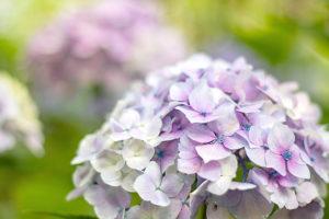 可憐に咲く薄紫色の紫陽花