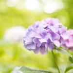 紫とピンクのアジサイ