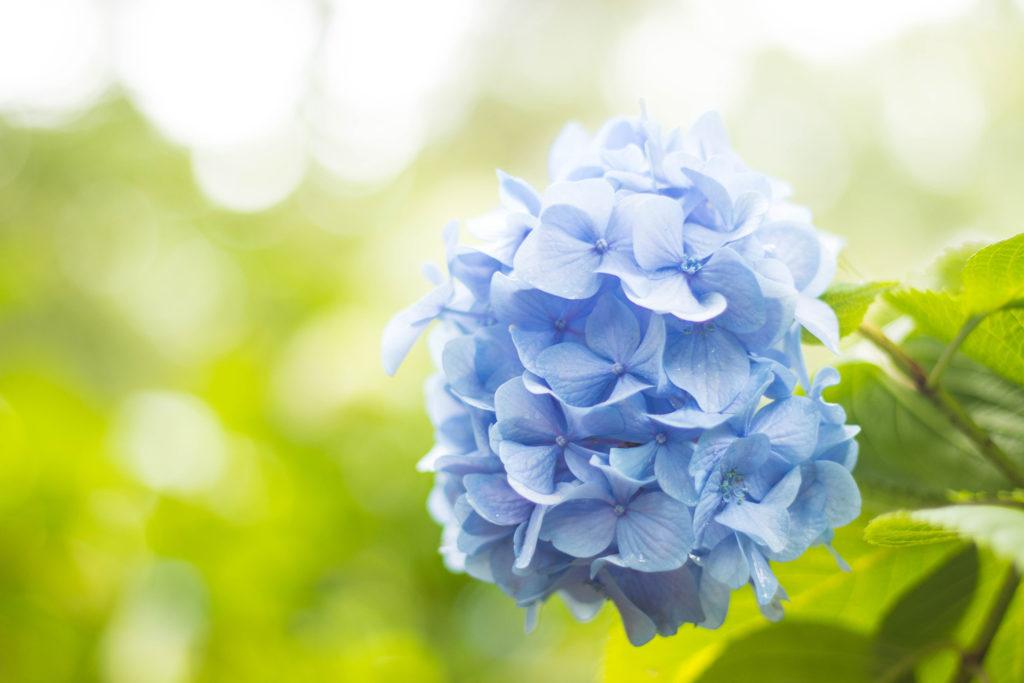 きれいなブルーのあじさい