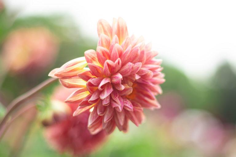 ピンクのダリア カクタス咲き