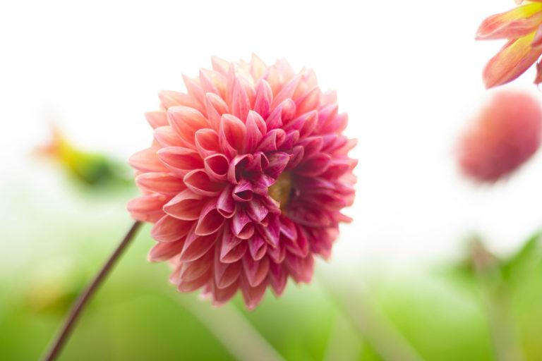 ふんわりと咲くピンクのダリア