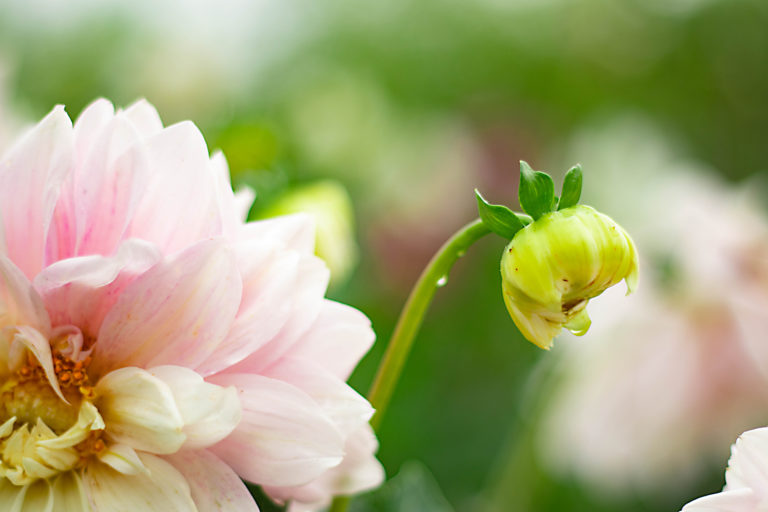 薄ピンクのダリアと水滴が滴る蕾