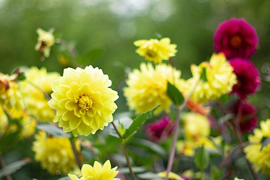 たくさんの黄色のダリア スイレン咲き