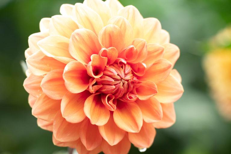 オレンジ色のダリア