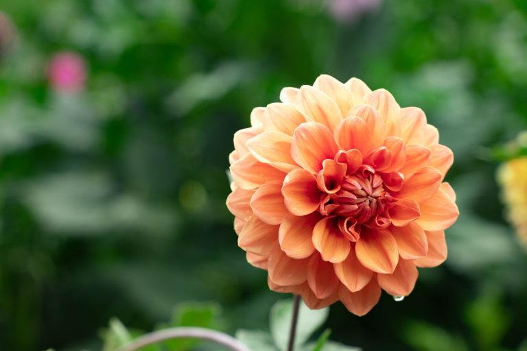 雨上がりのオレンジ色のダリア