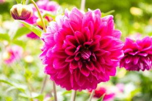 見事に咲くショキングピンクのダリア