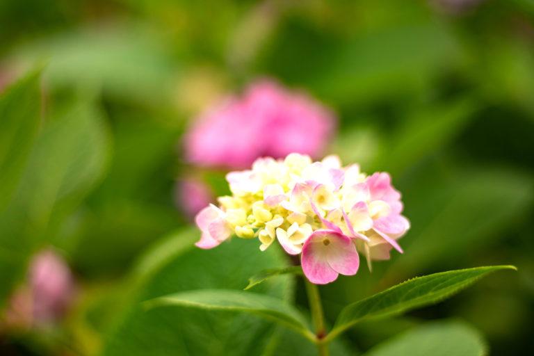 色づき始めた小ぶりの紫陽花