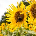 ひまわりの花と蜂