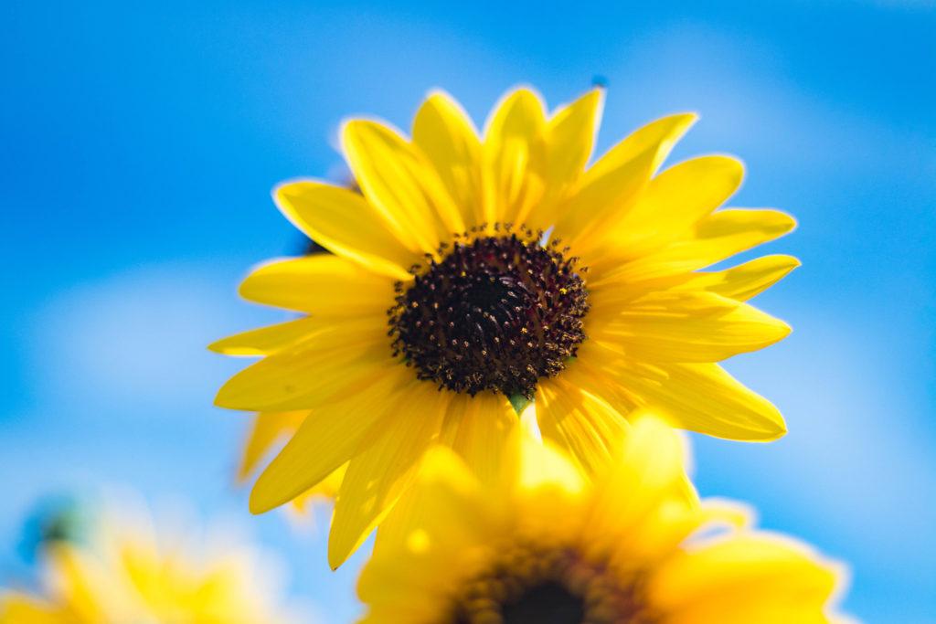青空に向かって咲くひまわり